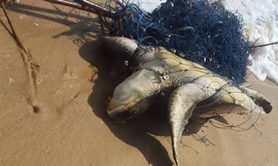 Injured sea turtle rescued from fishing net in Phang Nga | Thaiger