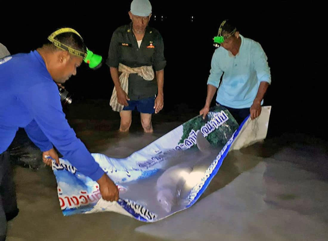 Marium, the Trang dugong, washed up on Libong beach | News by The Thaiger