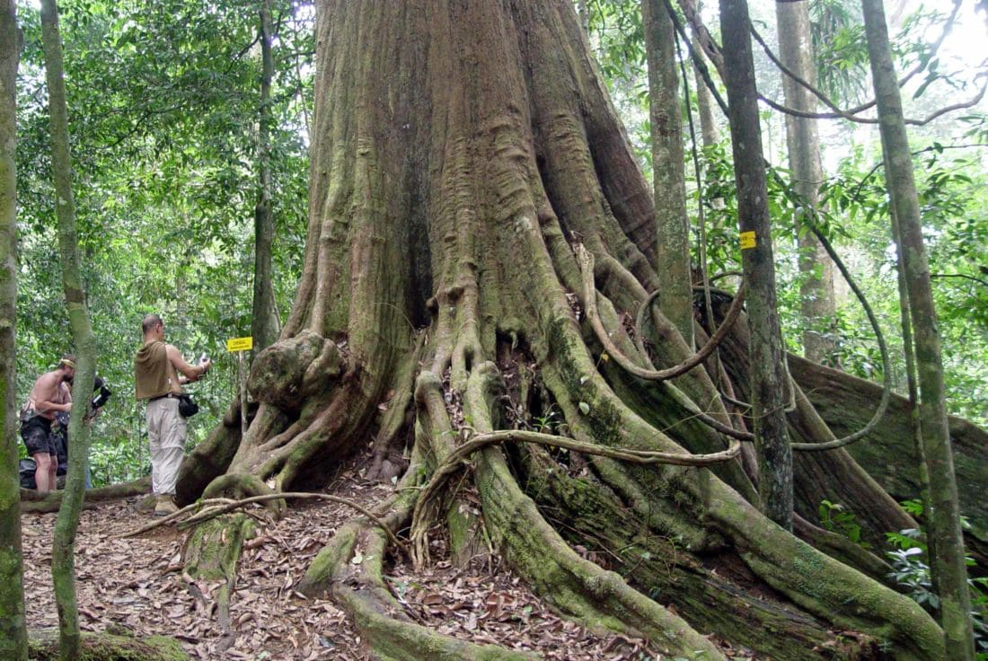 A pair of 200 year old trees in Chumpon on Thailand's National Heritage List | News by Thaiger