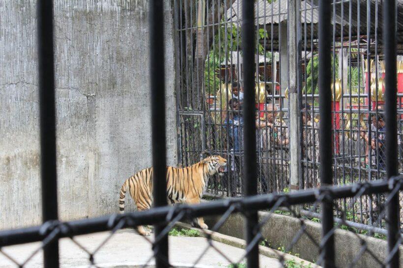 ผู้ว่าภูเก็ตสั่งตรวจสอบสวนสัตว์ หลังโซเชี่ยลร้องพบเสือถูกล่ามโซ่,วางยาเพื่อนำมาถ่ายรูป | News by The Thaiger