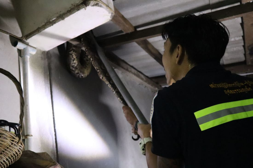 Four metre python caught in Koh Kaew, Phuket | News by Thaiger