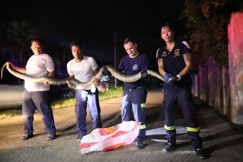 Four metre python caught in Koh Kaew, Phuket   The Thaiger