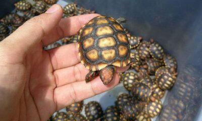 4,500 endangered baby turtles seized from passenger van in Thailand's northwest | The Thaiger