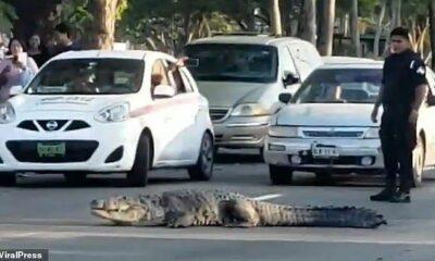 หลีกทางหน่อย ขาใหญ่จะเดิน! ตำรวจเม็กซิโกต้องหยุดรถ ให้จระเข้ยักษ์ข้ามถนน | The Thaiger