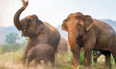 26 year old Thai gored to death by wild elephants in Buri Ram | The Thaiger