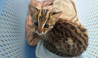 Lost Leopard Cat kitten being cared by Phang Nga wildlife officials   Thaiger