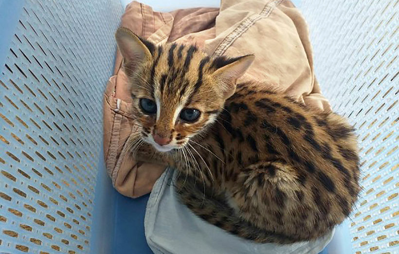 Lost Leopard Cat kitten being cared by Phang Nga wildlife officials | Thaiger