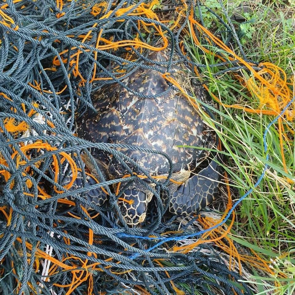 Another sea turtle saved from a random trawling net in Phuket   News by Thaiger