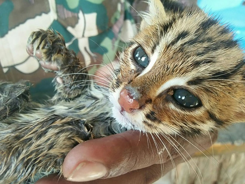 Lost Leopard Cat kitten being cared by Phang Nga wildlife officials | News by Thaiger