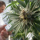 Thai PM warns about patients relying on medical marijuana as magic cure | The Thaiger