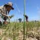 """""""Worst drought in living memory"""", Thai farmers in the north   The Thaiger"""
