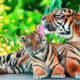 Leonardo DiCaprio praises Thailand for efforts to increase the population of wild tigers | Thaiger