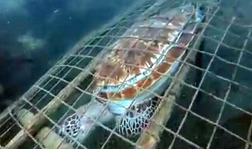 Green sea turtle found dead in a fish trap off Krabi national park | Thaiger