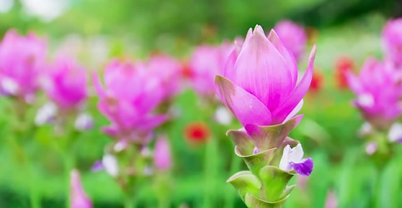 Wild animals and wild flowers - tulip season at the Khon Kaen Zoo | News by Thaiger