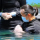 The second baby dugong 'Yamil' dies in Phuket | The Thaiger