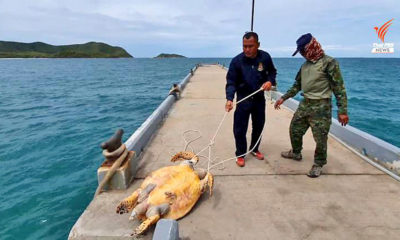 Autopsy on dead 15 year old Hawksbill sea turtle held today | Thaiger