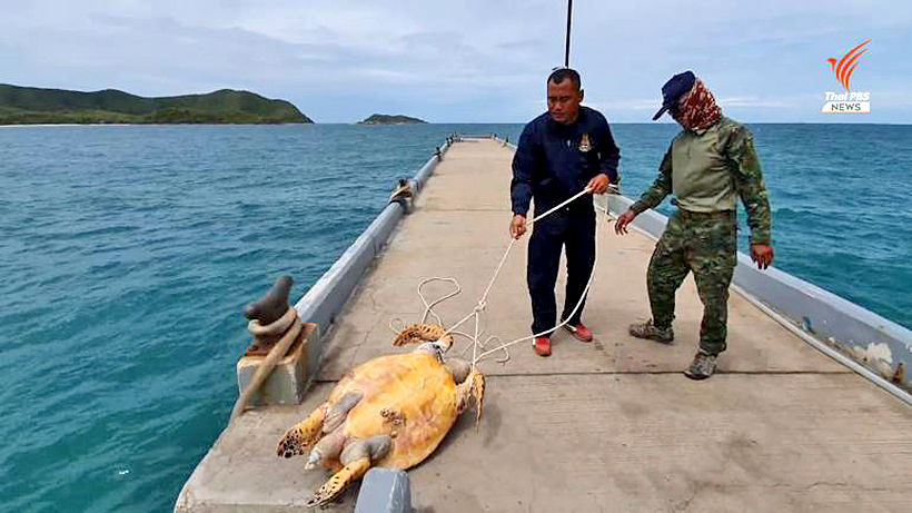 Autopsy on dead 15 year old Hawksbill sea turtle held today | The Thaiger