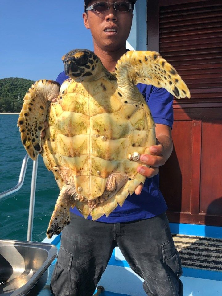 Injured sea turtle rescued by tour boat operator in Phuket - VIDEO   News by Thaiger
