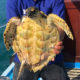 Injured sea turtle rescued by tour boat operator in Phuket – VIDEO   Thaiger