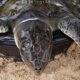 Turtle rescued on Nai Harn Beach, Phuket   Thaiger