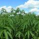 Thai farm grows other crops to disguise marijuana farm | Thaiger