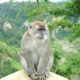 Hua Hin to sterilise 600 monkeys in effort to control numbers | The Thaiger