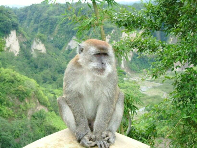 Hua Hin to sterilise 600 monkeys in effort to control