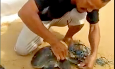 Phuket villager braves the surf to rescue tangled turtle | Thaiger