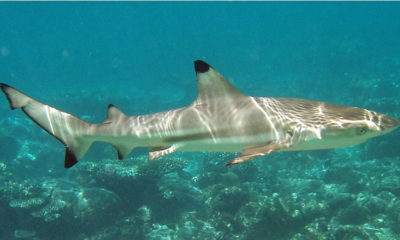 Biologist calls on Thailand to list all sharks as endangered | The Thaiger