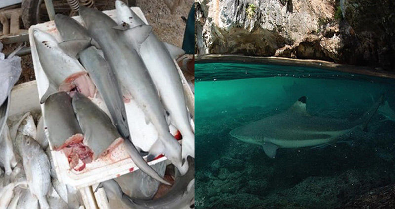 Biologist calls on Thailand to list all sharks as endangered | News by Thaiger