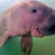 Marium, the baby dugong internet star, dies. Plastic found in stomach. | The Thaiger