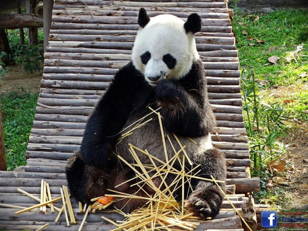 Thailand's favourite giant panda dies in Chiang Mai Zoo aged 19 | News by Thaiger
