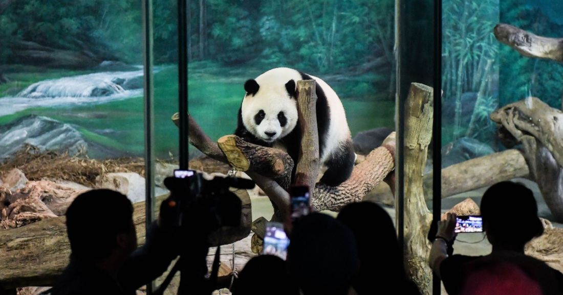 Chinese netizens want to know what caused panda Chuang Chuang's death   News by Thaiger