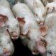 24 Thai provinces under observation in African swine flu alert | Thaiger
