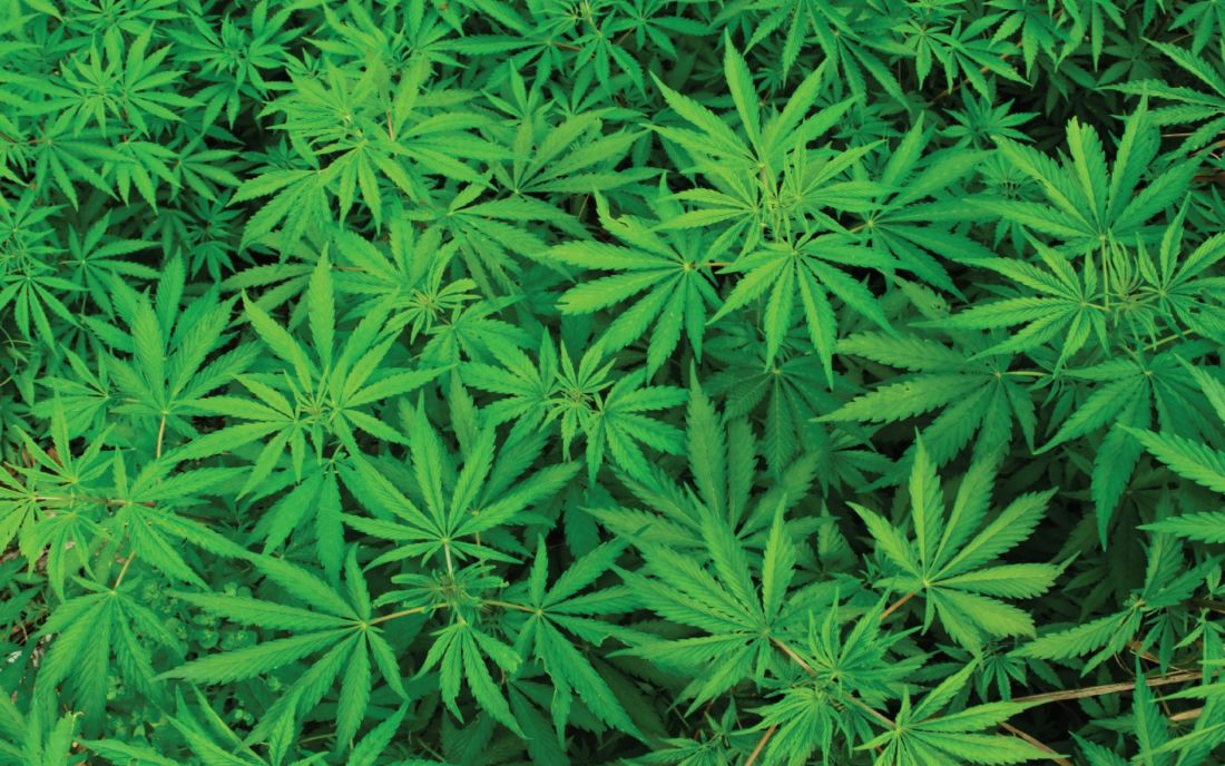 Significant developments in cannabis farming in Thailand | Thaiger