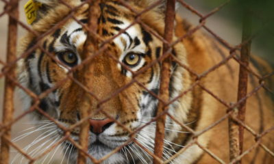 More than half of the tigers moved from the Tiger Temple have died | Thaiger