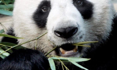 Thailand's favourite giant panda dies in Chiang Mai Zoo aged 19 | Thaiger