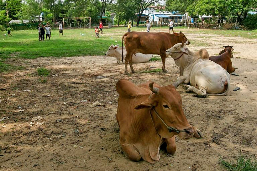 Burmese kids dodging cows and cow dung to play rugby | News by Thaiger