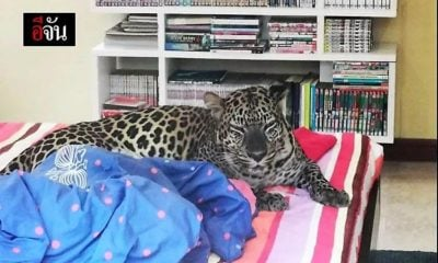Pet leopard not a hit with neighbours in Chonburi, Thailand | The Thaiger