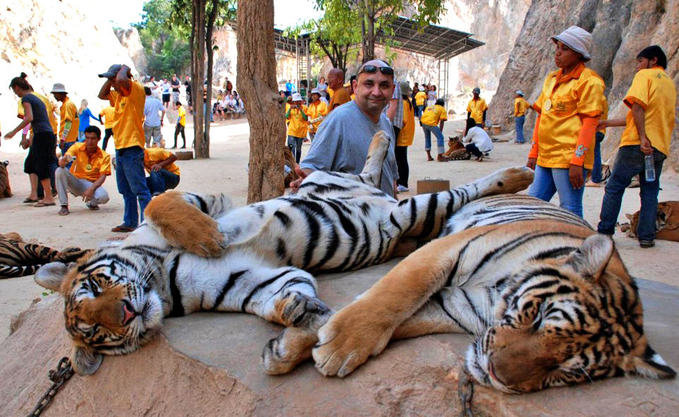 More than half of the tigers moved from the Tiger Temple have died | News by Thaiger