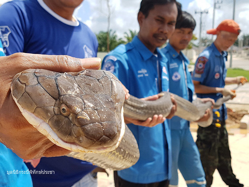 Four metre, 15 kilogram king cobra found in a Krabi village | News by Thaiger