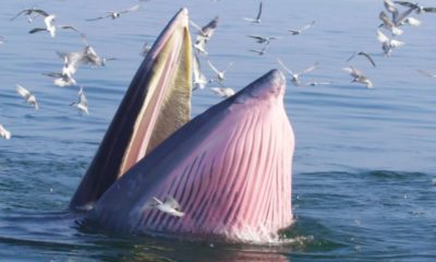 Thai government plans to issue guidelines for watching Bryde's whales in Chonburi | Thaiger
