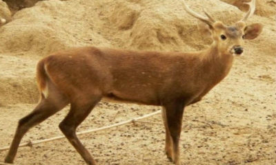 """""""Vulnerable"""" deer species rescued six kilometres off shore in southern Thailand 