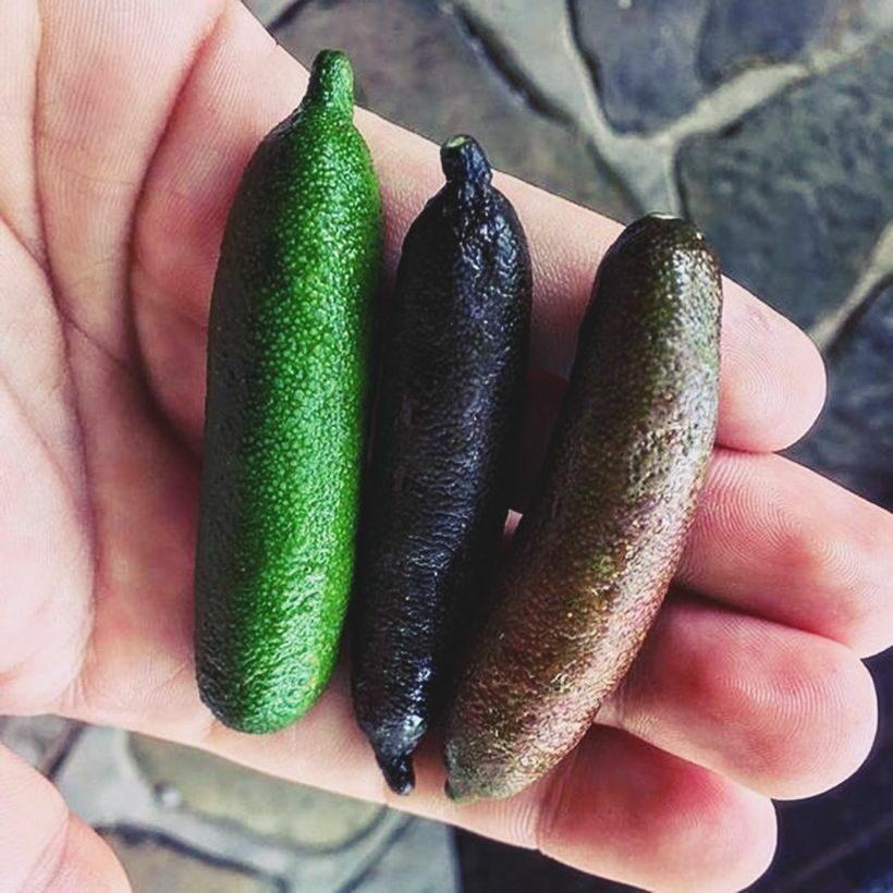 Loài quả dại bỗng chốc được lùng mua với giá tiền triệu | News by Thaiger