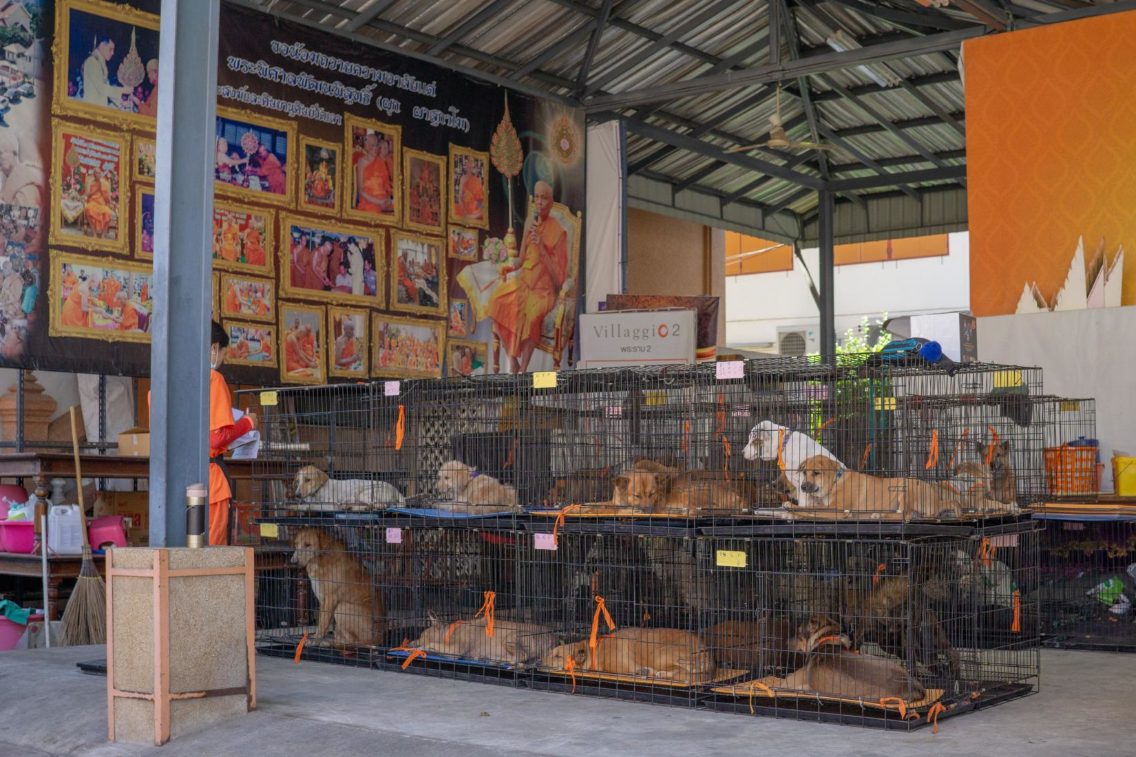 Soi Dog reaches new milestone - neutering 100,000 animals in one year   News by Thaiger