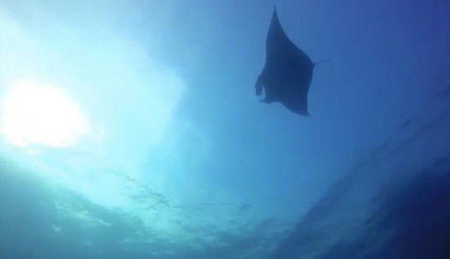 Rare sighting of 5 metre manta ray in Similan Islands | News by Thaiger