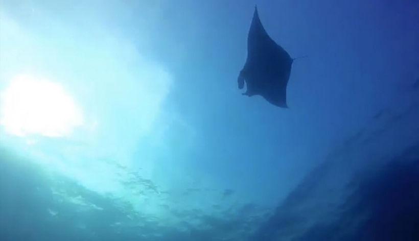 Rare giant manta ray sighted off Phang Nga | News by Thaiger