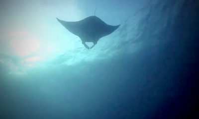 Rare sighting of 5 metre manta ray in Similan Islands | Thaiger
