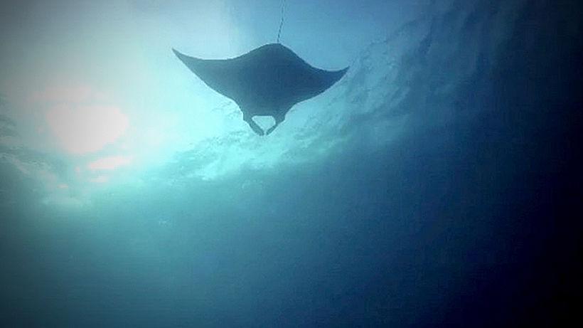 Rare giant manta ray sighted off Phang Nga | Thaiger
