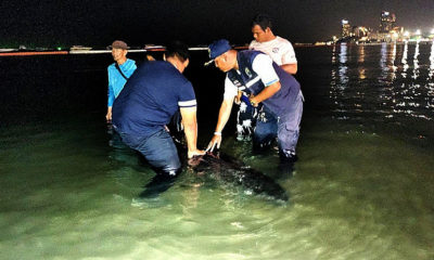 It was THAT big! Pattaya fisherman snares a REALLY big sea mammal. | Thaiger
